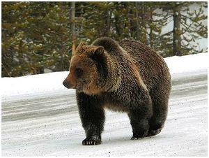 Законодатели Европейского Союза приказали своим охотникам не добывать русских медведей