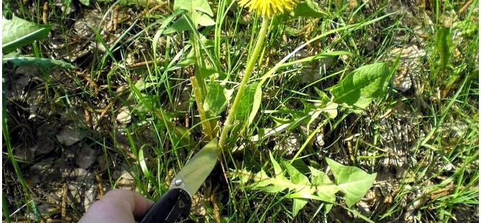 Дикорастущие растения которые ослабляют и убирают неприятные ощущения, боль, зуд и жжение от укусов насекомых.
