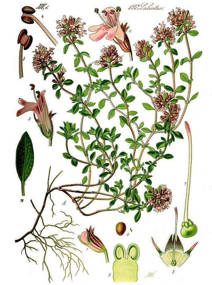 Чабрец обыкновенный, тимьян ползучий, Thymus serpyllum, описание, использовании при лечении заболеваний в полевых условиях.