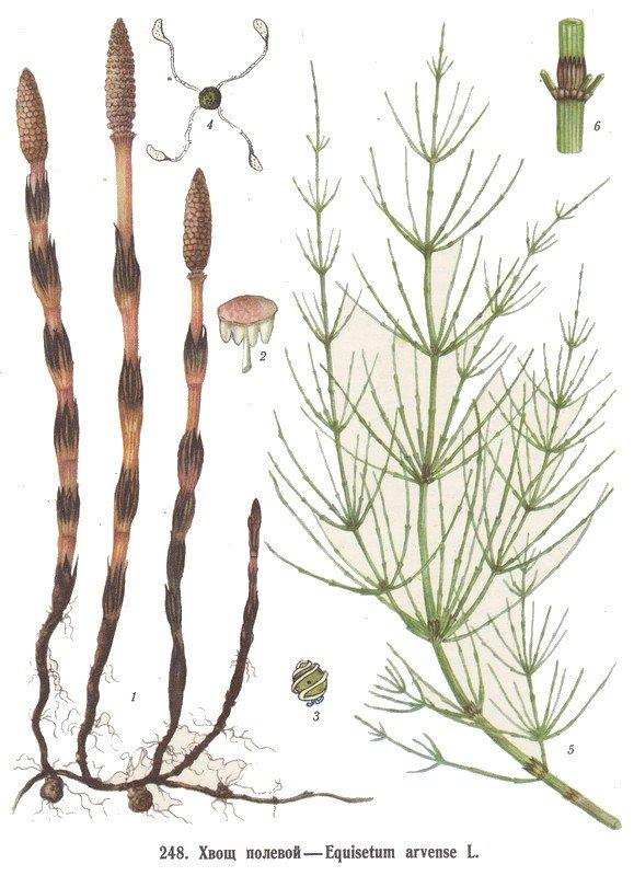 Хвощ полевой, Equisetum arvense, описание, использовании при лечении заболеваний в походных и полевых условиях.