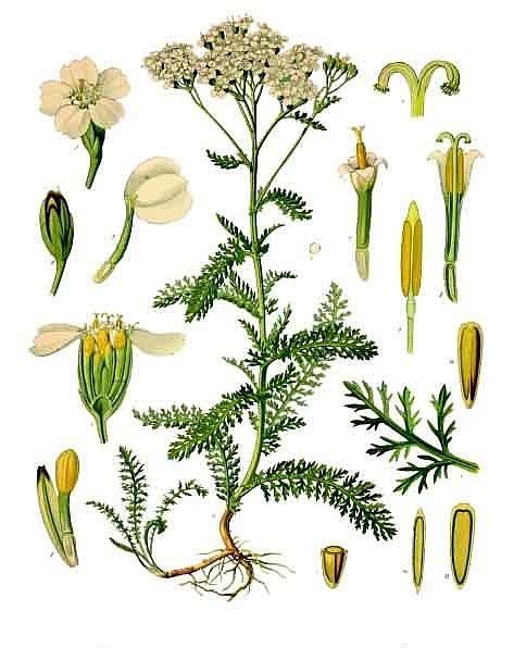 Тысячелистник обыкновенный, Achillea millefolium, солдатская трава, кровавник, порезная трава, живучая трава, описание, использование для лечения заболеваний.