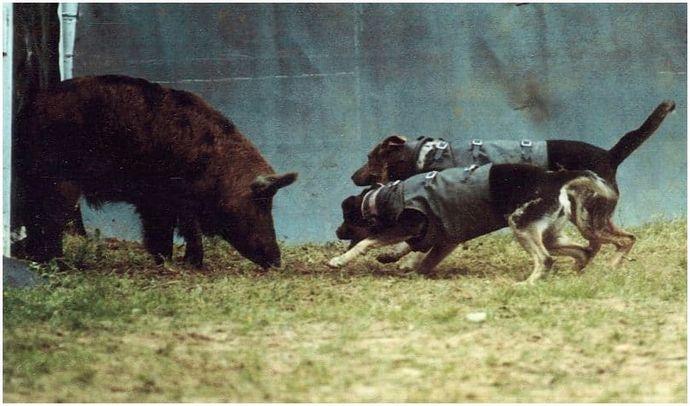 Охота на диких кабанов