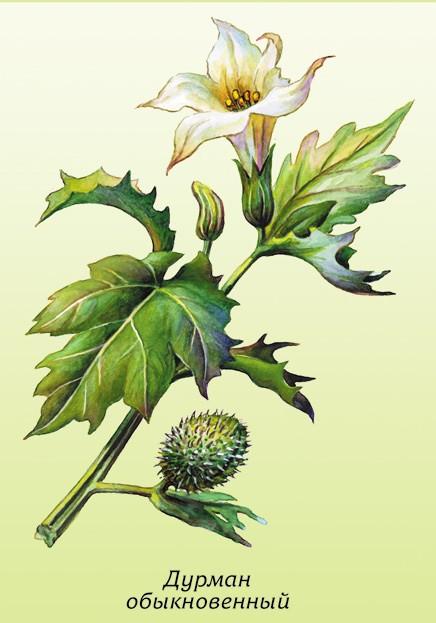 Ядовитые дикорастущие растения опасные для здоровья человека, признаки отравления ядовитыми растениями.
