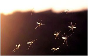 Как далеко комары путешествуют: встретить врага