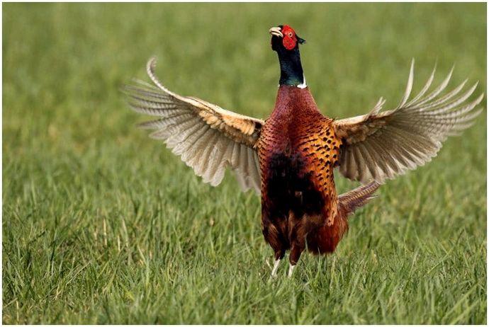 Советы по охоте на фазанов: смакуйте момент