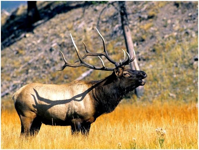 Лучшие звонки Moose: они говорят на вашем языке
