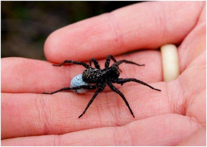 Самые ядовитые пауки, которые населяют наш мир сегодня