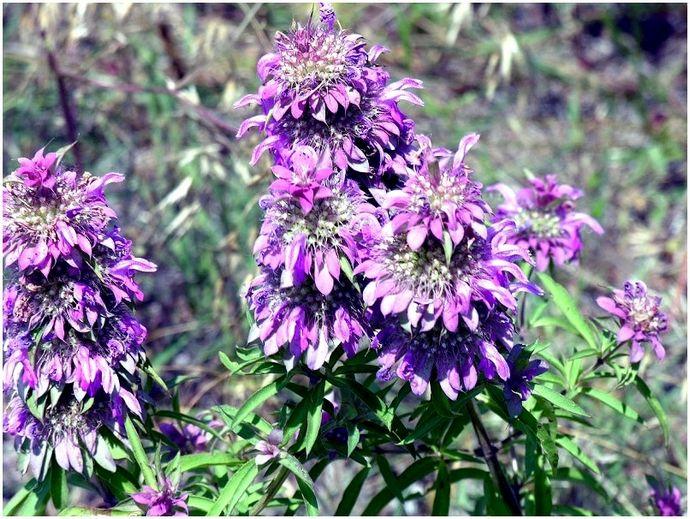 Растения, которые отталкивают комаров: как использовать их в природе