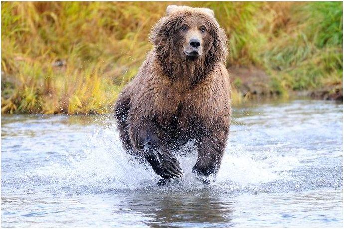 Как быстро бегут медведи: не позволяйте мастеру Брюину шептать вам