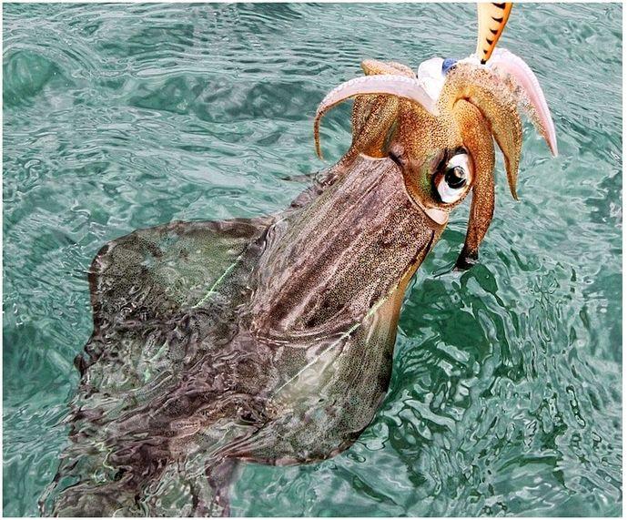 Как поймать кальмара: надо с ним трястись