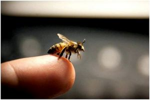 Лечение укуса пчелы: объяснение симптомов и лечение