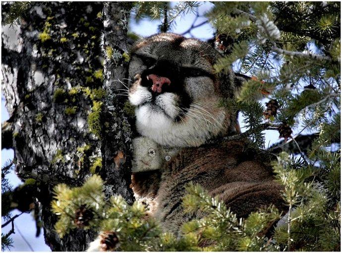 Советы по охоте на пумы: практическое руководство по охоте на горных львов