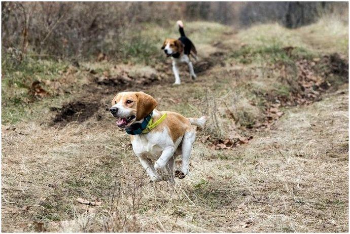 Породы охотничьих собак: 5 надежных друзей, на которых можно положиться