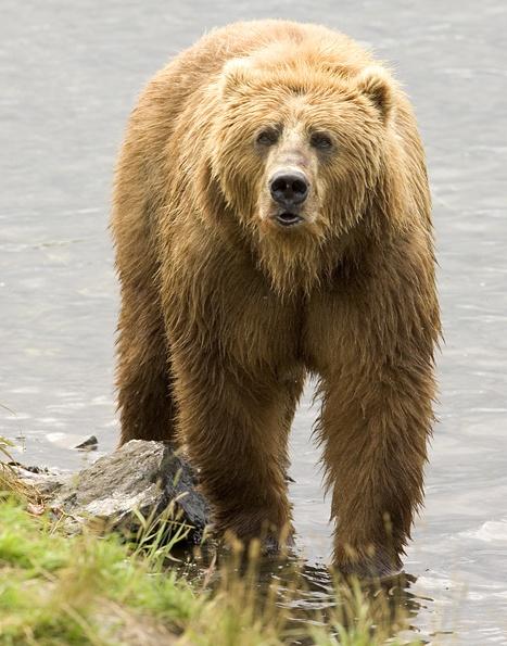 Правила поведения при случайной встрече с медведем, чего опасаться и что нужно делать.