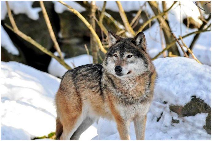 Тактика охоты на волка: хищник против хищника