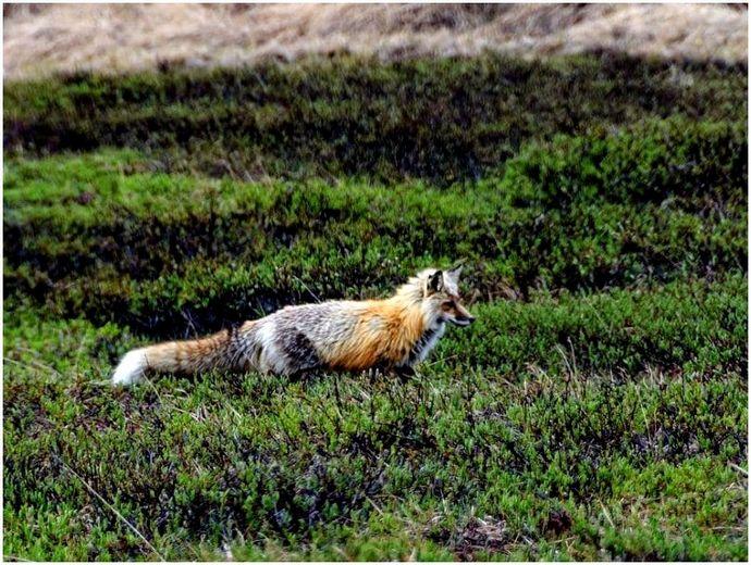 Советы по охоте на лис: умнее самого умного хищника