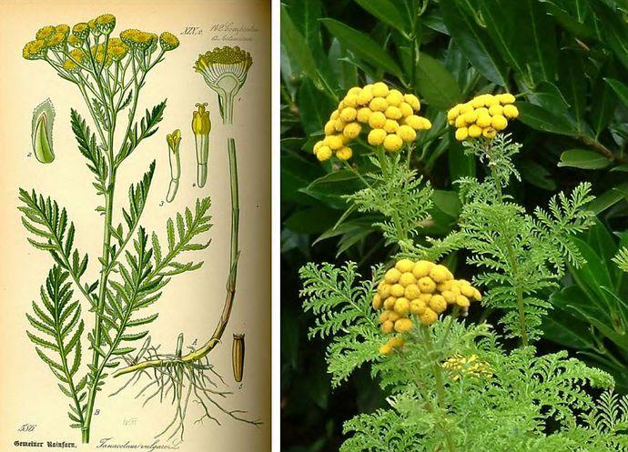 Пижма обыкновенная, ботаническое описание, химический состав, использование в быту, в кулинарии, в современной научной и народной медицине.
