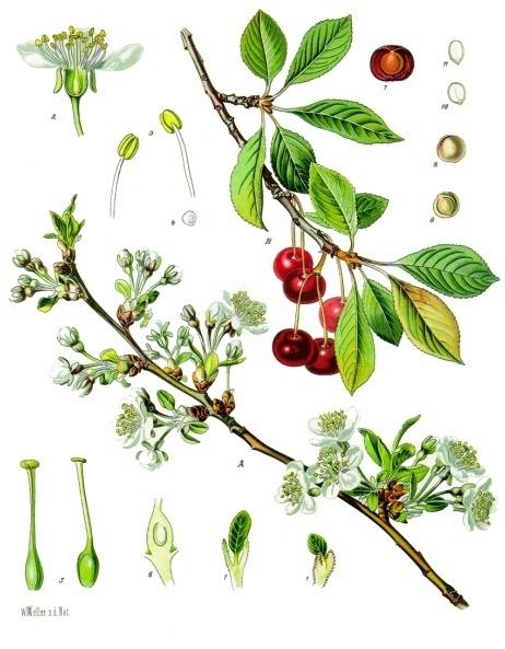 Чайные напитки из веток деревьев и кустарников, черной смородины, вишни, сливы, шиповника, малины, черноплодной рябины, яблони, полезные и целебные свойства.