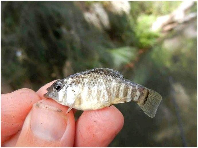 Как поймать мелкую рыбу: заправить крючок