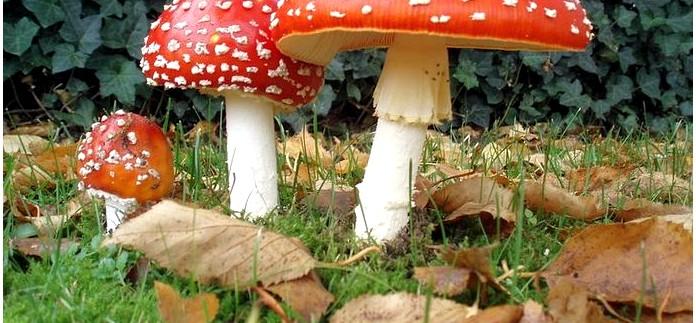 Наиболее распространенные ядовитые растения и грибы, внешний вид, симптомы отравления и действие ядовитых веществ.