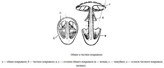 Распознавание и определение шляпочных съедобных грибов по описанию, формы плодовых грибных тел, шляпок и ножек съедобных грибов, определение незнакомых грибов.