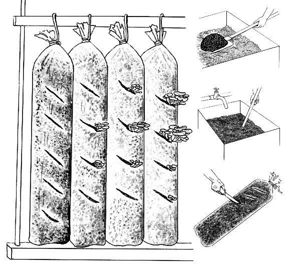 Выращивание гриба вешенки в ящиках или полиэтиленовых мешках, подготовка субстракта, этапы созревания и плодоношения мицелия, сбор урожая.