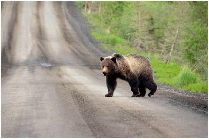 Как пережить нападение медведя: советы, чтобы вы вернулись домой