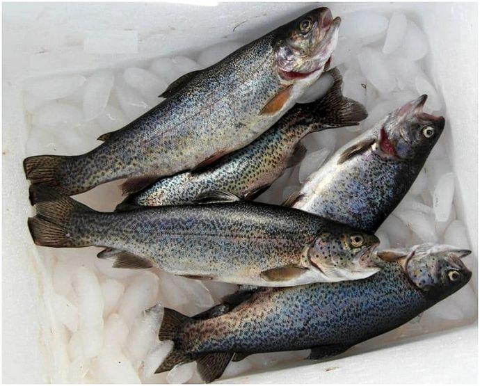 Как поймать радужную форель: рыба как профессионал