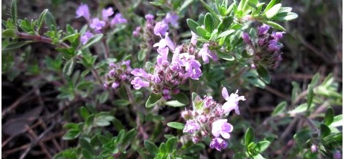 Успокоительные, сердечные, нормализующие давление дикорастущие лекарственные растения.