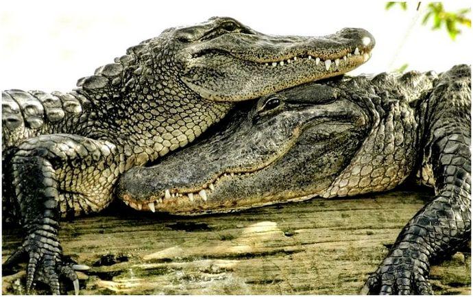 Крокодил против крокодила: битва веков