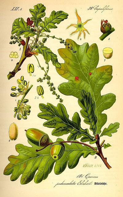 Дуб обыкновенный или черешчатый, описание, использование коры, листьев дуба, галлов и желудей при лечении заболеваний в полевых условиях.