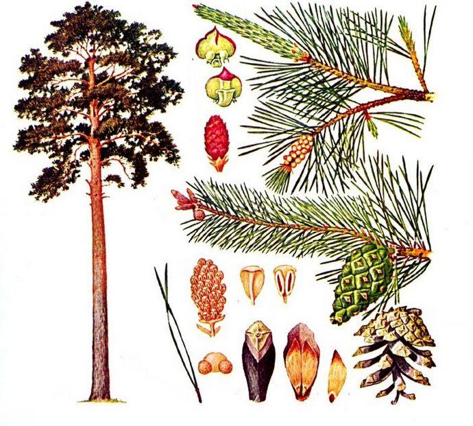 Сосна обыкновенная, сосна лесная, Pinus silvestris, общее описание, особенности использования при лечении заболеваний.