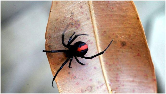 Лечение укусов пауков: руководство по лучшим травяным и лекарственным средствам