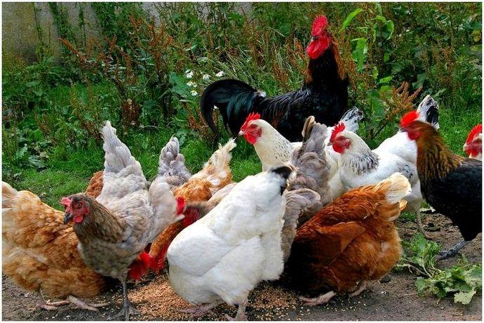 Как вырастить цыплят: советы для всех начинающих