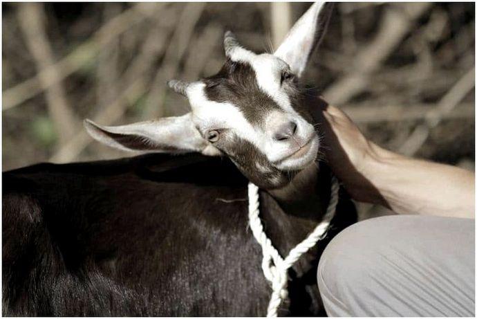 Как вырастить коз: качественные результаты правильных методов выращивания