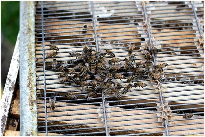 Как вырастить медоносных пчел: важные шаги, чтобы стать профессиональным пчеловодом