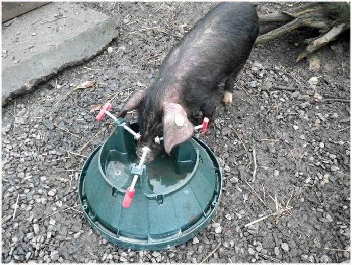 Как разводить свиней: разводить свиней гуманно за мясо