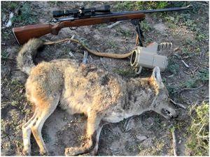 Охота на койотов: советы и хитрости, которые дадут вам преимущество