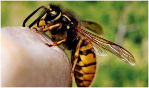 Укусы пчел, которые являются естественными и могут быть найдены дома