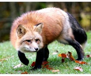Нашествие лисиц в Орловской области