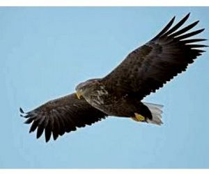 Краснокнижные орланы облюбовали места зимней рыбалки