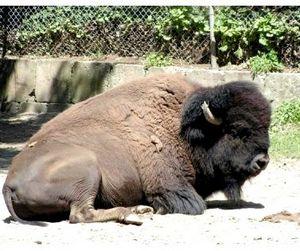 Вы не поверите, но в Смоленской области дохнут бизоны