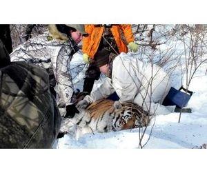Раненого тигра выхаживают в Амурской области