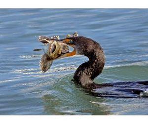 Челябинские рыбаки выступили против бакланов