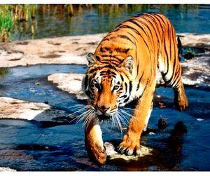 Больше тигров - меньше непальцев