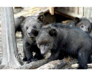На медвежат у браконьеров рука не поднялась