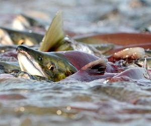 В Камчатском крае начался нерест красной рыбы