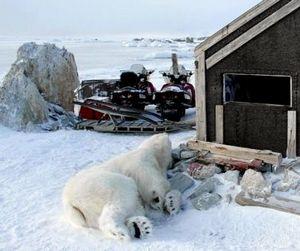 На Шпицбергене белый медведь стал жертвой своего любопытства