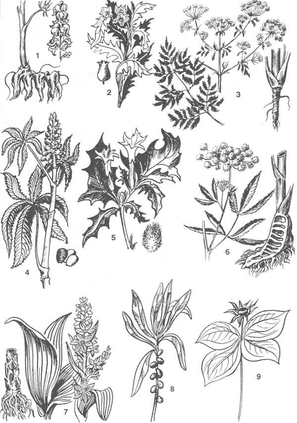 РИС. 78. Ядовитые растения: 1 - аконит, 2 - белена черная; 3 - болиголов пятнистый, 4 - клещевина, 5 - дурман обыкновенный, 6 - вех ядовитый (цикута), 7 - чемерица, 8 - волчье лыко, 9 - вороний глаз