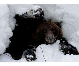 От повышения зарплат в Томской области пострадают медведи
